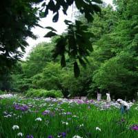 智光山公園の花菖蒲が綺麗でした