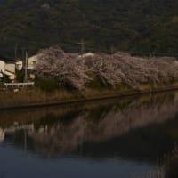 佐敷川沿いの桜