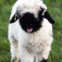 羊のコスプレをした羊