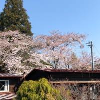 さくら、桜、なもなきサクラたち。