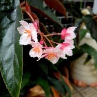木立ベコニアの花