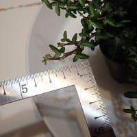「世界最小の葉っぱ」でトピアリー