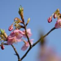 ●我が家の2月の花(15)  青空と河津桜