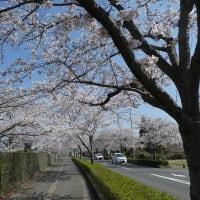 桜を撮ってきた!
