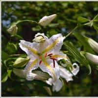 「軽井沢植物園」で咲く花々