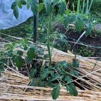 トマトの成長(脇芽から成長)