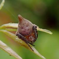 トガリオニグモ