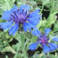 セントーレア・ブルーカーペットの花は