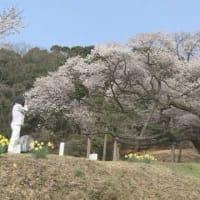 樹齢660年「三隅大平桜」・島根県 2019年03月29日