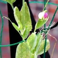 豆苗から花