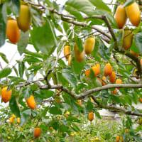 筆柿の稔る風景
