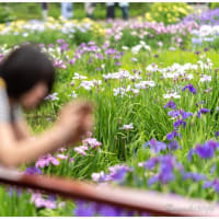 城北公園 菖蒲園