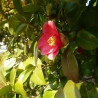 おはようの花」 ツバキ(椿)1月