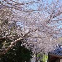 とびしま海道 桜満開の岡村島