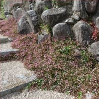 美しいカンナ★山の上で咲くポリゴナム