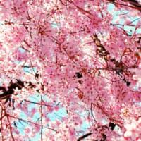 桜を見る会と野党の政治姿勢