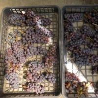 ブドウをたくさん収穫しました