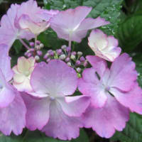 紫陽花「エンジェルワルツ」 7