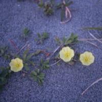 今日の中田島砂丘(2019年4月18日)砂丘も花盛り