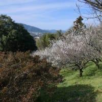 斐川公園の梅。
