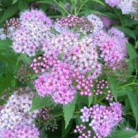 シモツケの花は