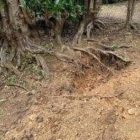 イノシシの被害と温室みかんの収穫とニッポンの旅計画108