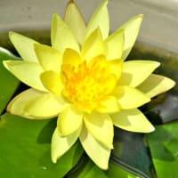 黄スイレン咲く