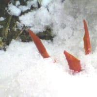 雪割り2012