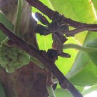 9/15、9/17 サネカズラの雌雄の花と緑の実