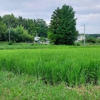 我が家の田圃
