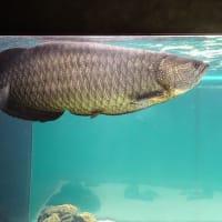 「大きい魚」/カワスイ