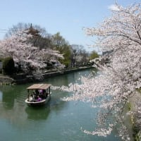 京の桜は・・・