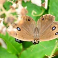 新潟の野蝶 ジャノメチョウ