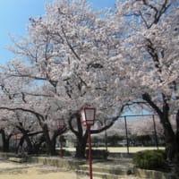 近所の公園・桜の近況5