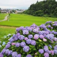 大手道公園の紫陽花