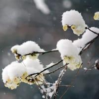 たのしい万葉集 十二月には淡雪降ると知らねかも・・・