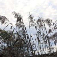 ヨシ(アシ) - 柳川瀬公園(豊田市)