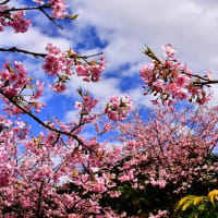 河津桜咲く頃