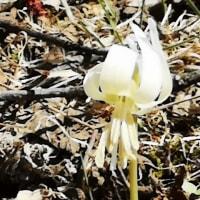 カタクリ(白い色)