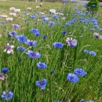 矢車草の実生苗