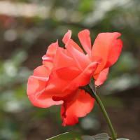 10/25 紅紫檀 トレニア 唐辛子 薔薇
