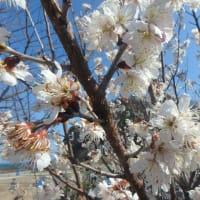 店の早咲き桜が満開!