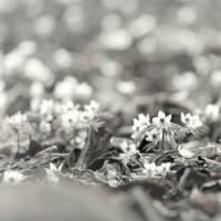 森の銀河、節分草の春