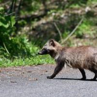新潟の野獣 タヌキ
