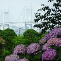 「アジサイ」/港が見える丘公園