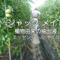 ミニトマト高品質に多収メソッド