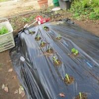 春キャベツの植え付け