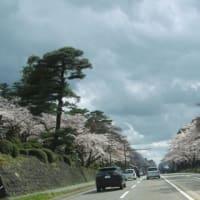 コロナ・・・で、桜を見に行けない(行かない!)・・・兼六園下の桜、満開でした。車中からの桜見物に留めます。