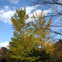 今日は秩父ミューズパークです。イチョウが黄色になっていました。秋本番でした。
