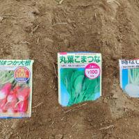 小松菜の播種